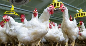 Avian flu outbreak on Suffolk farm causes chickens to be eliminated