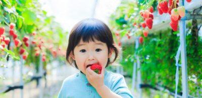 「紅ほっぺ」等36種日本草莓種苗未經日方同意非法流入中韓