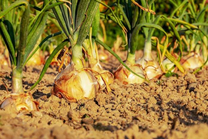 Onion is a perishable commodity