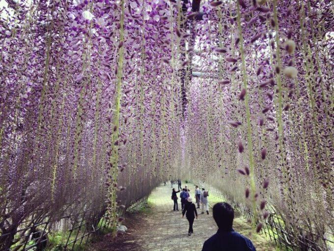 5分咲きな感じの河内藤園