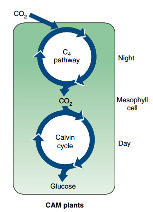 C4 and CAM Pathway