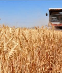 grain-harvest