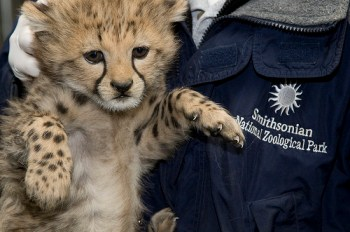 Smithsonian's National Zoo's Cheetah Cubs Receive First Vaccinations