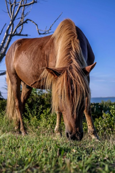 Wild Asseateague Pony Closeup, Assateague, Maryland
