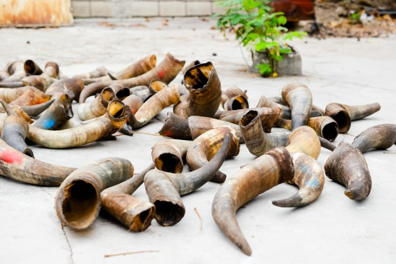 Horns Drying in the Sun at Christelle Paul's Atelier Calla