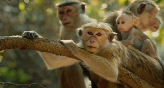 Maya from Disneynature Monkey Kingdom