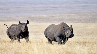 Photo of How wildlife conservancies are using #IoT to track location of endangered rhinos in Tanzania