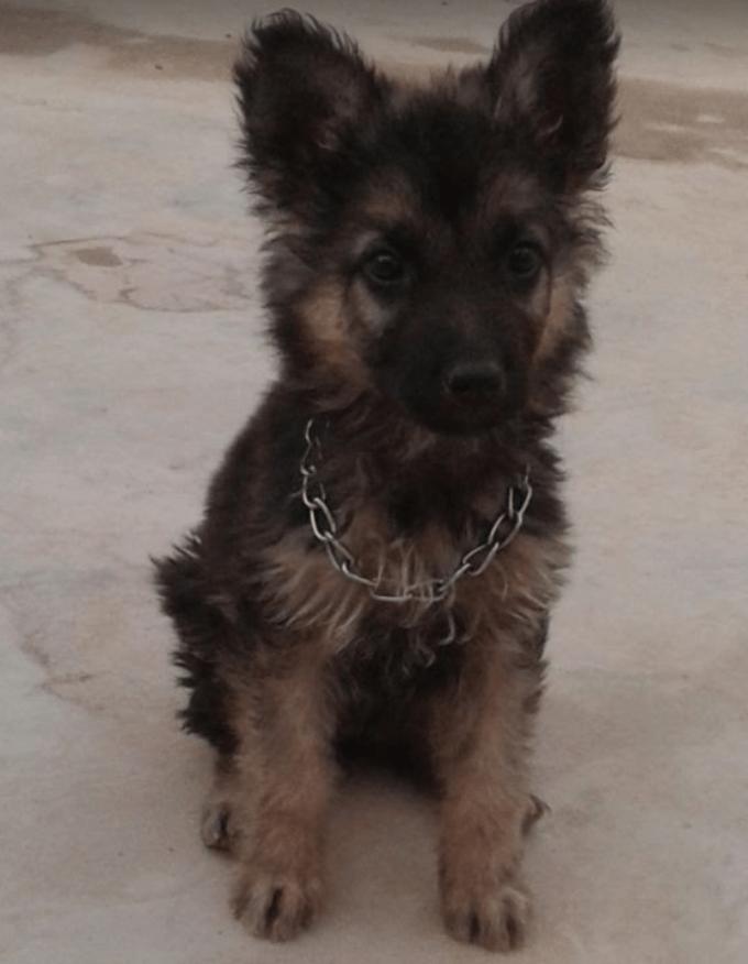 Naeem Javid - Tech Urdu - German Shephard Dog - Maximus (Max)
