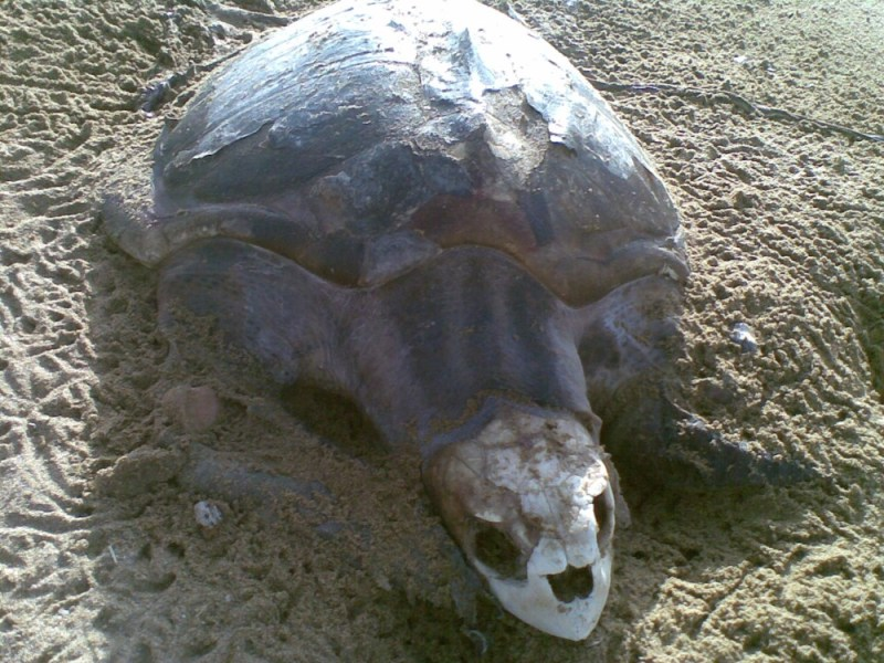 Turtles in Pakistan Near Extinction 1- Tech Urdu