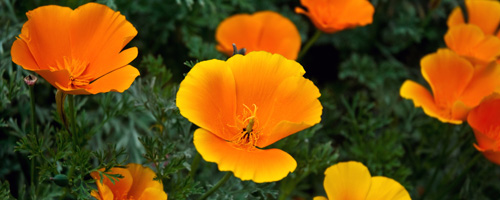 goldenstatepoppies