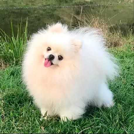 Imagem de cachorro fofo e peludo