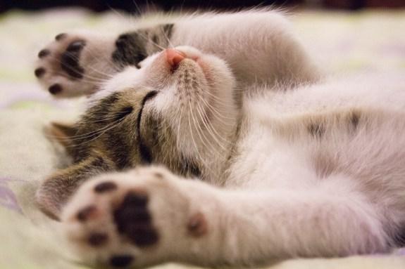 gatinho preguiça