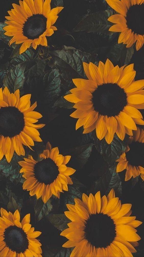 papel de parede, flores girassol
