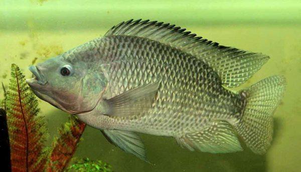 Um peixinho.