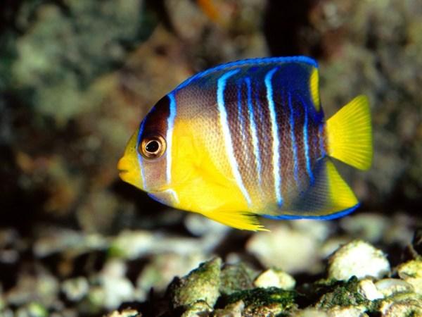 imagem de peixe azul com amarelo.