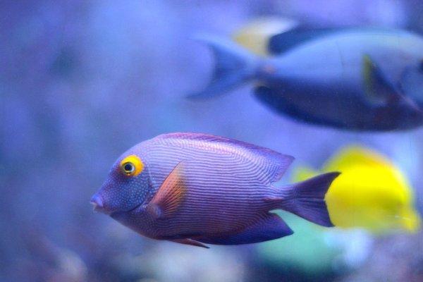 Um peixe azul.