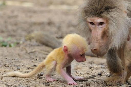 Imagem babuíno raro.