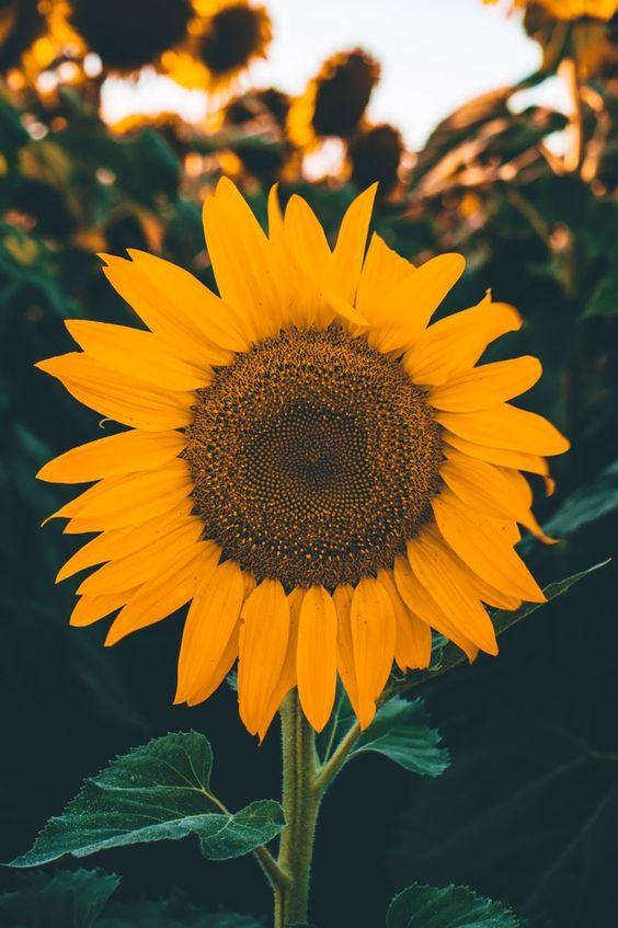 Wallpaper flor girassol