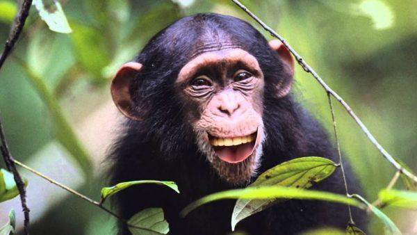 Foto dos primatas de macacos.