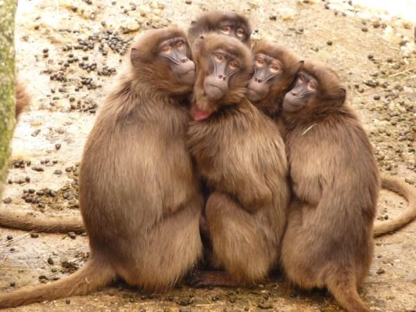 Um grupo de babuínos bem carinhosos um com o outro.