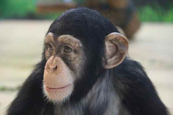 Macaco primatas foto.