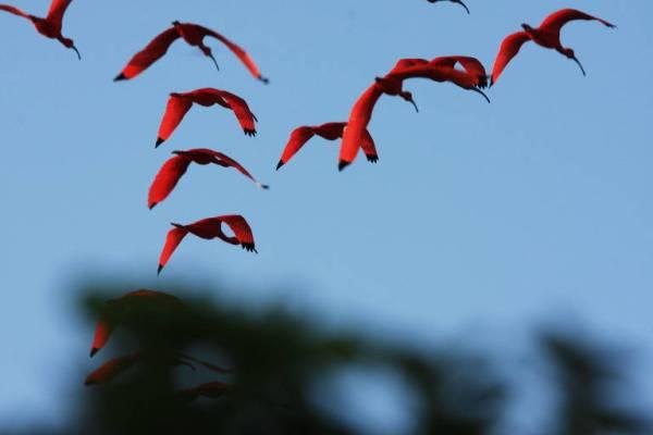 pássaros vermelhos voando