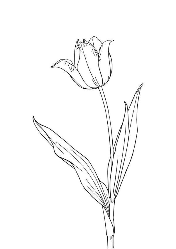 desenho tulipa  de flores