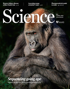 Secuencian de nuevo el ADN del gorila con mayor precisión imprimir este contenidoFacebookDeliciousMeneameArroba El genoma completo del gorila occidental de tierras bajas se secuenció en 2012, pero contenía imprecisiones y vacíos secuenciales. Un equipo estadounidense de científicos ha logrado reconstruirlo de manera más simple y precisa, obteniendo nueva información sobre los genes que diferenciaron a los primeros humanos de estos grandes simios. Más información sobre:ADNsecuenciacióngenomagorila SINC | | 31 marzo 2016 20:00 Con una simple muestra de sangre se pudo extraer el ADN de la gorila Susie para esta nueva secuenciación del genoma de la especie. / Lincoln Park Zoo Con una simple muestra de sangre se pudo extraer el ADN de la gorila Susie para esta nueva secuenciación del genoma de la especie. / Lincoln Park Zoo El descifrado del ADN del gorila occidental (Gorilla gorilla gorilla) aporta información sobre los mecanismos biológicos responsables del habla, las enfermedades, el comportamiento neurológico y otros rasgos que nos separan de nuestros parientes primates más cercanos, como ocurrió con la secuenciación realizada en 2012. El estudio, publicado en ese momento en Nature, reveló que este gran simio y los humanos comparten más material genético de lo que se pensaba, un 98%. Con la investigación ya se podía obtener una visión más precisa sobre el proceso evolutivo que dio lugar a la aparición del ser humano, con quien el gorila compartió un antepasado común hace unos ocho millones de años. Este nuevo ensamblaje del ADN podría optimizar las secuenciaciones de los genomas de mamíferos al mismo nivel y calidad que el genoma humano Sin embargo, este primer montaje del genoma resultó ser incompleto e impreciso: se construyó con secuencias cortas de ADN mediante el método Sanger, la estructuración del genoma estaba muy fragmentada, contenía más de 400.000 vacíos secuenciales y se utilizaba el genoma humano como referencia. Por esta razón, investigadores estadounid