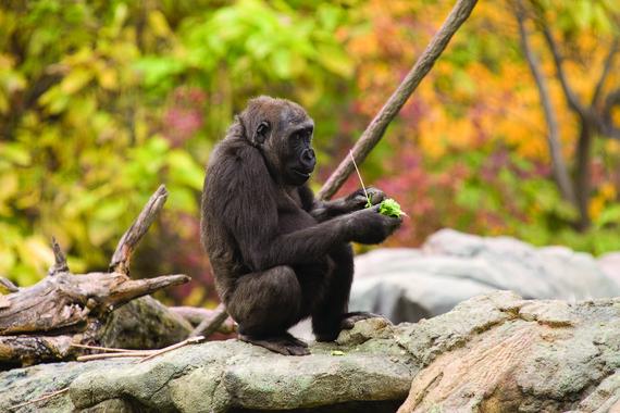 Con una simple muestra de sangre se pudo extraer el ADN de la gorila Susie para esta nueva secuenciación del genoma de la especie. / Lincoln Park Zoo