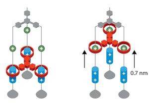 Ascensor molecular basado en el rotaxano. / NobelPrize.org