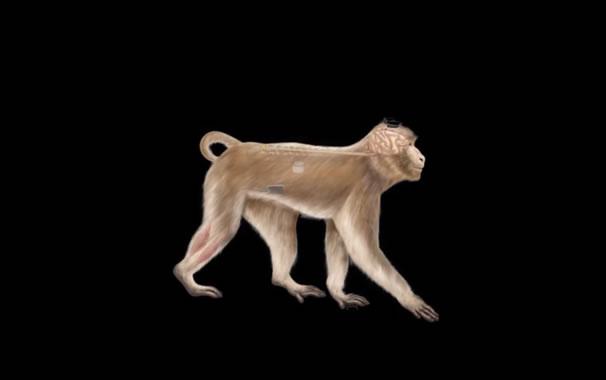 Esquema de uno de los macacos a los que se ha realizado la intervención. Imagen: Nature