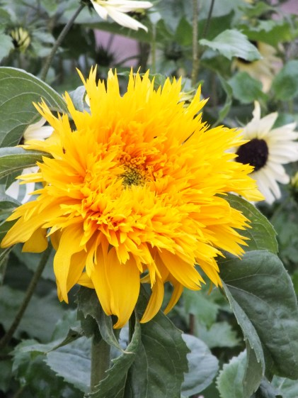 Fab sunflowers in the walled garden