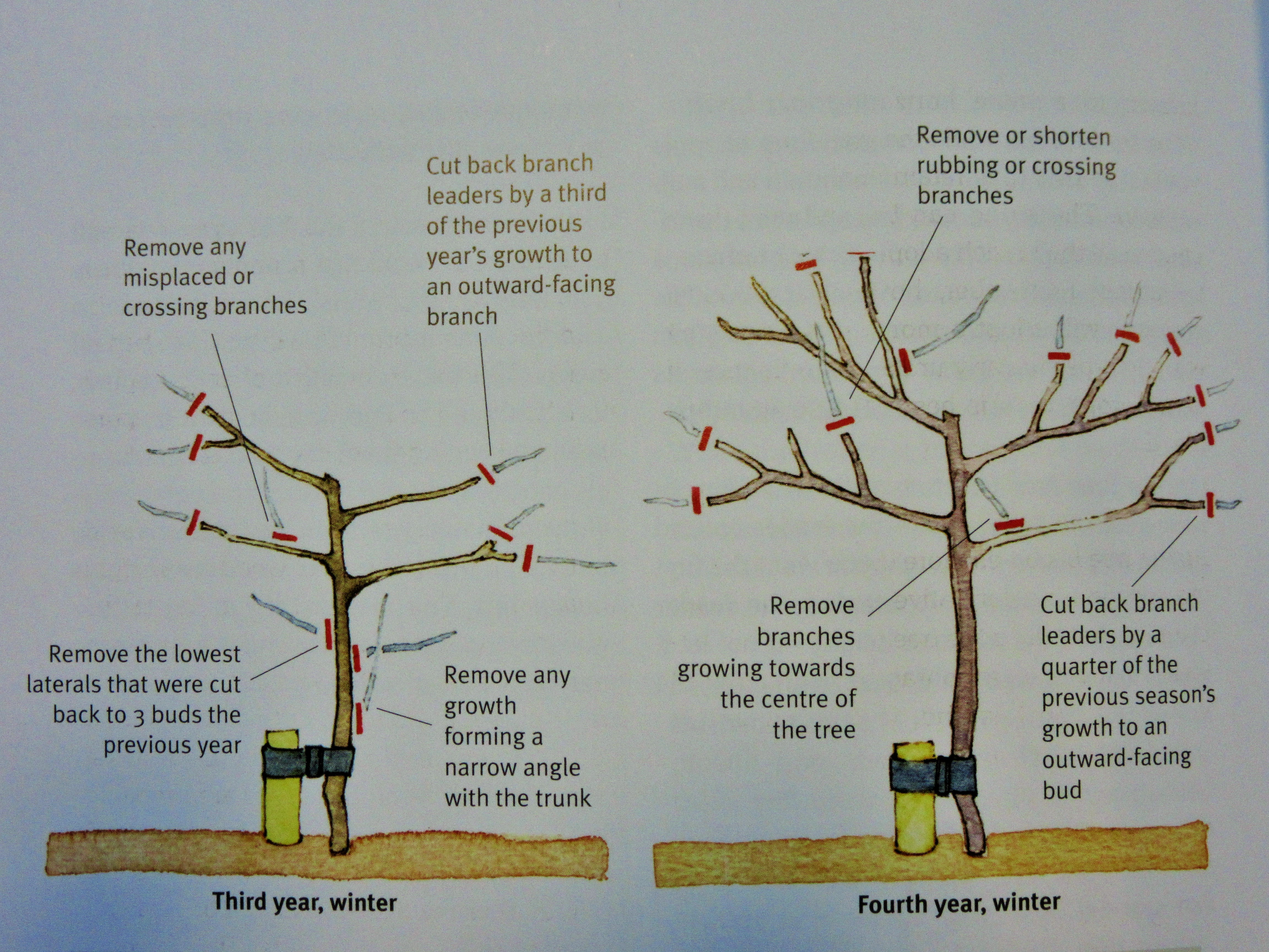 how to prune an apple tree diagram wiring power window switch love your apples and pears winter fruit pruning