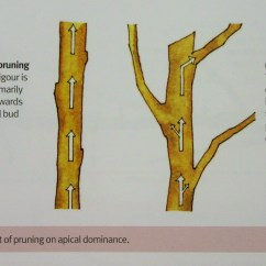 How To Prune An Apple Tree Diagram Ba Falcon Bluetooth Wiring Love Your Apples And Pears Winter Fruit Pruning