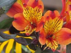 Alstroemeria Indian Summer 2