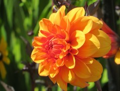 dahlia david howard orange