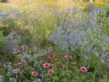 eryngium echinacea grass cool
