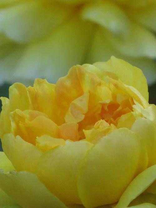 rose charlotte yellow