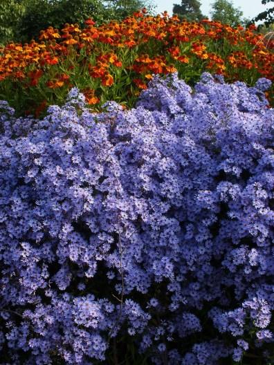 rudbeckia orange blue asters