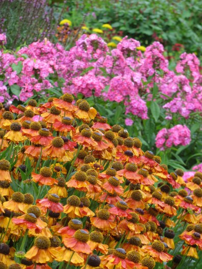 rudbeckia sahins phlox hot cool