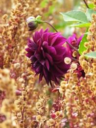 savill garden dark dahlia amaranth