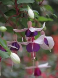 Fuchsia Campanella