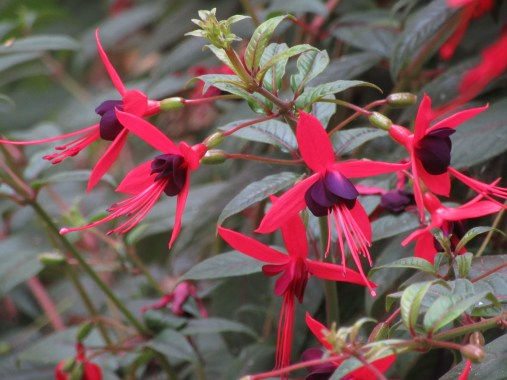Fuchsia Lady Boothby