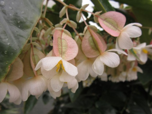 Begonia Laurie's Love