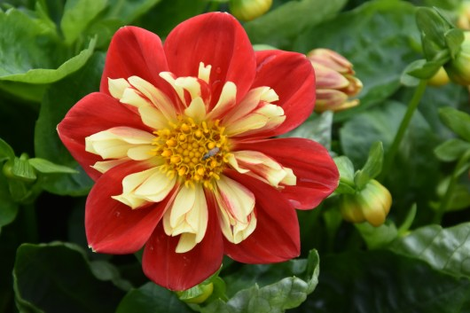 Dahlia Starsister Red Yellow