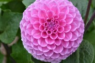 Dahlia Westerton Folly