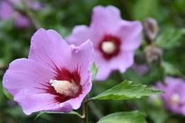 Hibiscus syriacus Mauve Queen