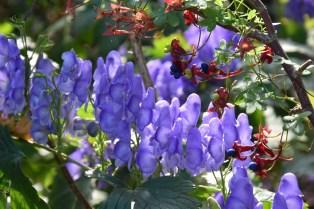 Aconitum helmsleyanum