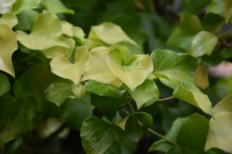 Hedera helix Buttercup