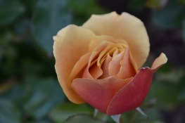 Rosa Belle Epoque